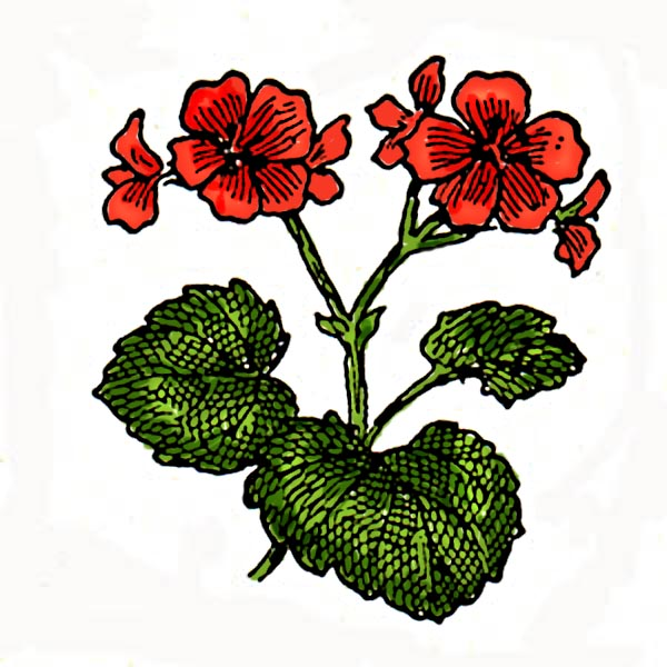 Geranium Clip Art Related Keywords & Suggestions.