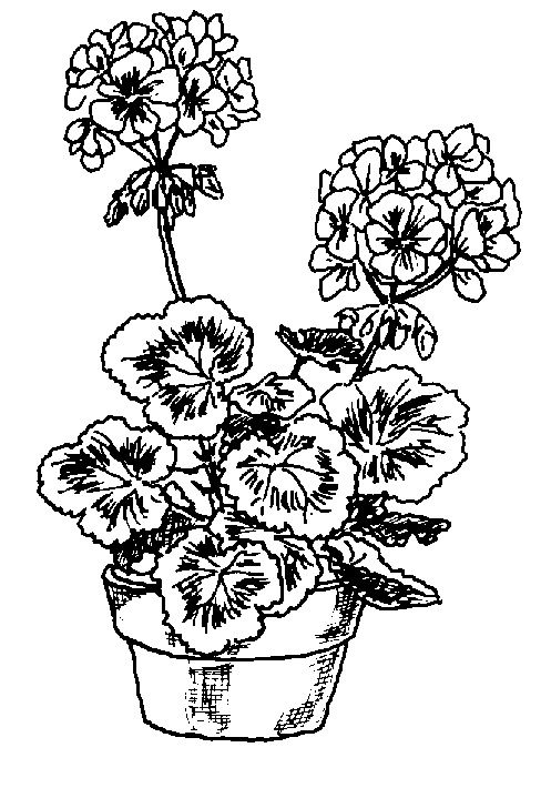 drawings of geraniums.