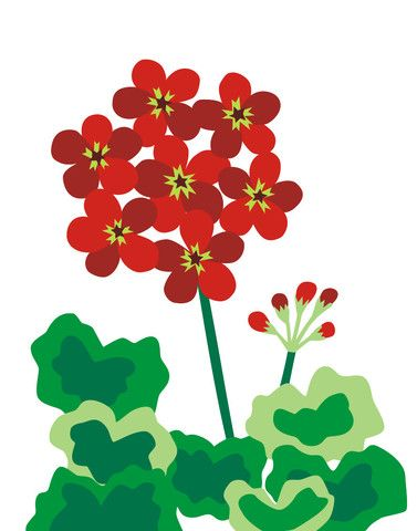 1000+ images about Red Geranium on Pinterest.