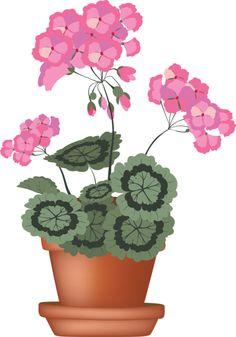 GERANIUM Pelargonium.