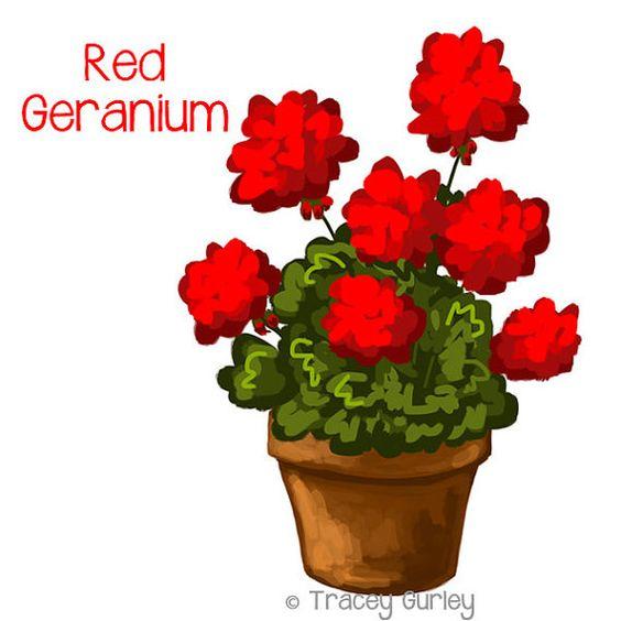 Red Geranium in Pot.