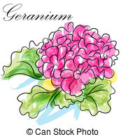 Geranium Illustrations and Clipart. 434 Geranium royalty free.