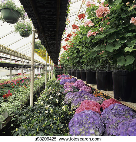 Stock Image of Greenhouse: Aisle with sprinkler overhead. Geranium.