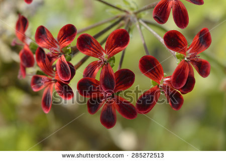 Hybrid Geranium Stock Photos, Royalty.