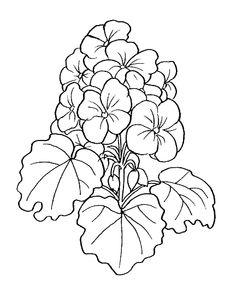 drawings of geraniums.