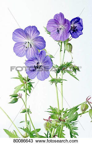 Stock Photo of DEU, 2004: Meadow Cranesbill (Geranium pratense.