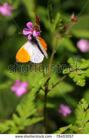 Butterfly Geranium Stock Photos, Royalty.