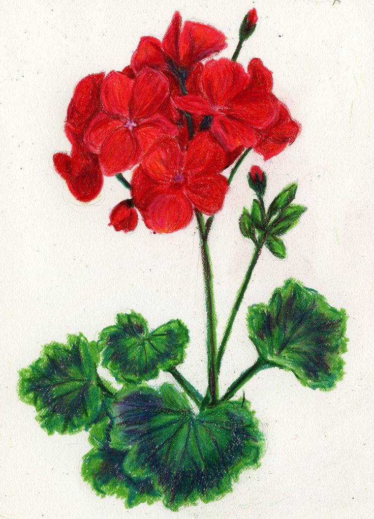Geraniums Clipart