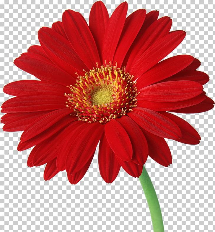 Transvaal daisy Common daisy , Gerbera Transparent.