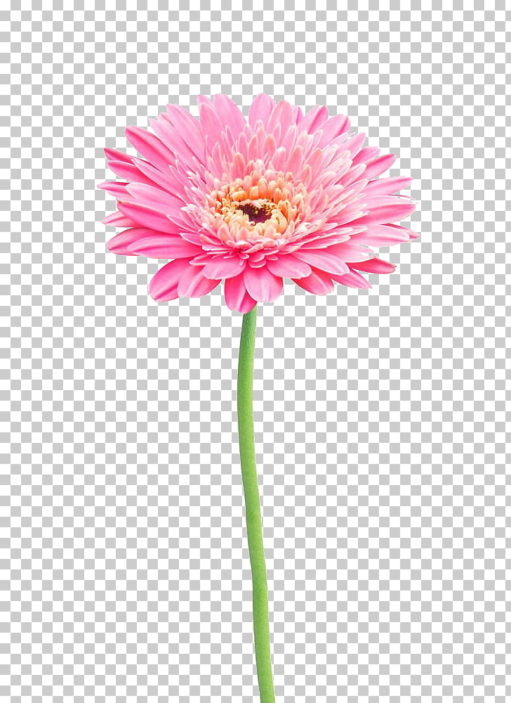 Flower Stock photography Gerbera jamesonii Common daisy.