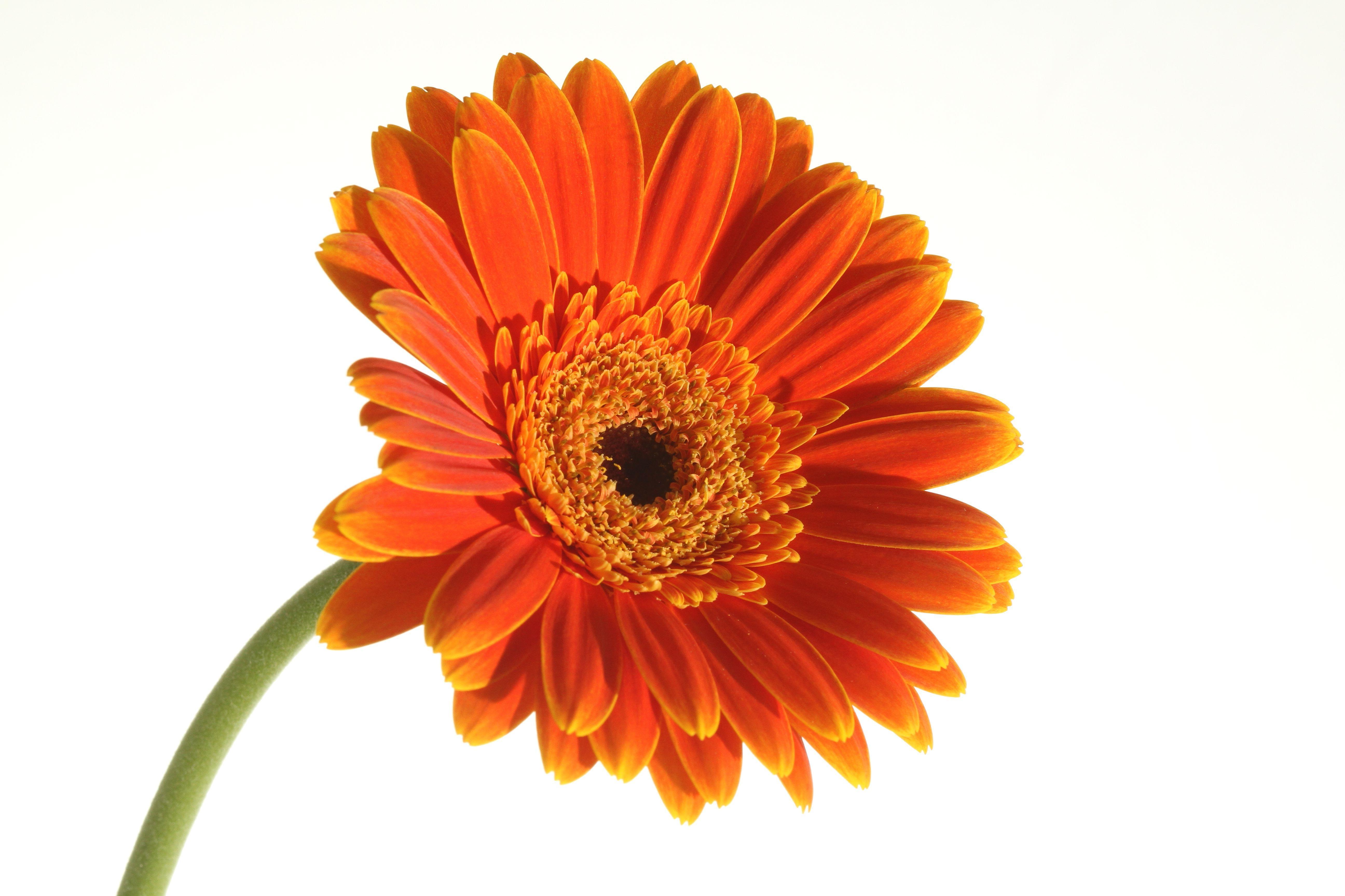 Best Orange Daisy Clip Art Design » Free Vector Art, Images.