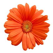 Orange Daisy Clipart.
