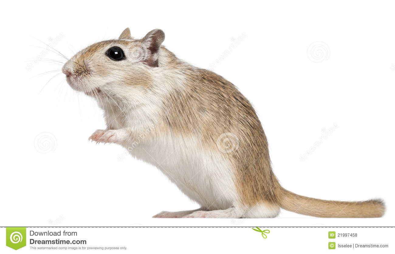 Gerbil Clipart Clipground
