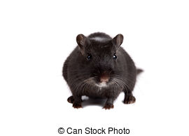 Gerbil Stock Photo Images. 1,067 Gerbil royalty free images and.