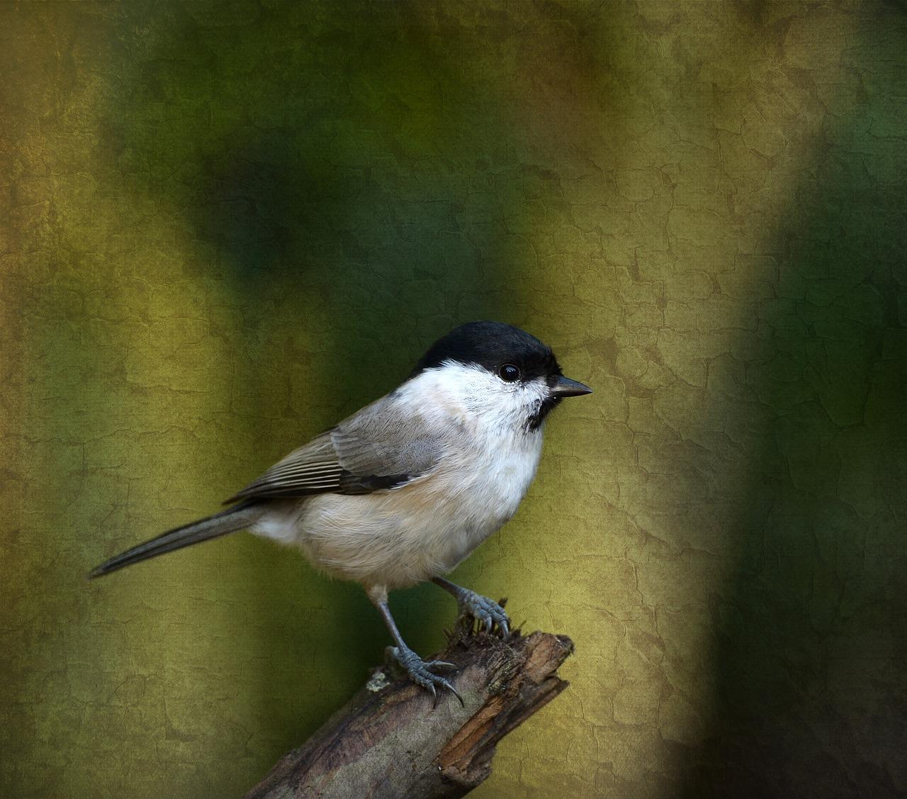 Marsh tit,tit,bird,garden,songbird.