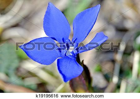 Stock Images of Spring gentian in Germany k19195616.