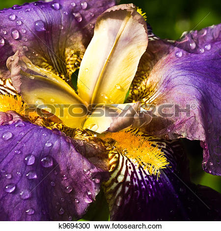 Stock Photography of Purple German Iris or Iris germanica macro.