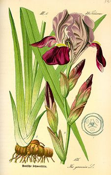 Vintage botanical illustration of German iris. #BeautifulMedicine.