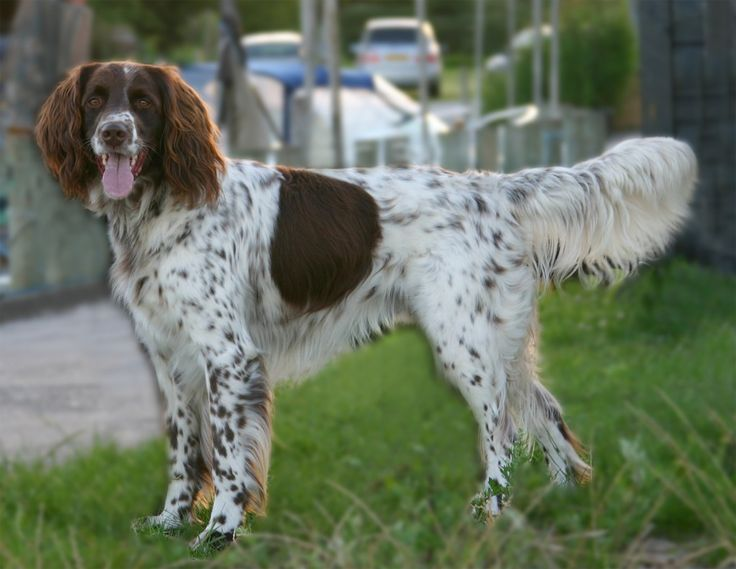 1000+ ideas about German Longhaired Pointer on Pinterest.