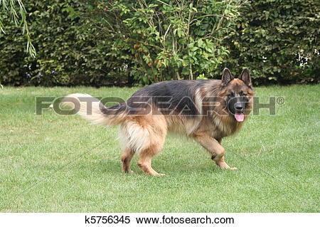 Stock Image of German Shepherd long hair k5756345.