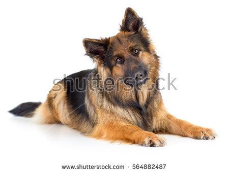 Long Hair Dog Stock Photos, Royalty.
