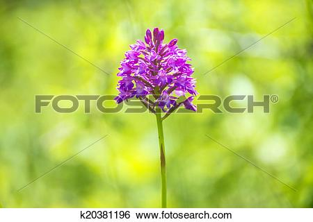 Stock Images of German wild orchid, Pyramidal Orchid, Anacamptis.
