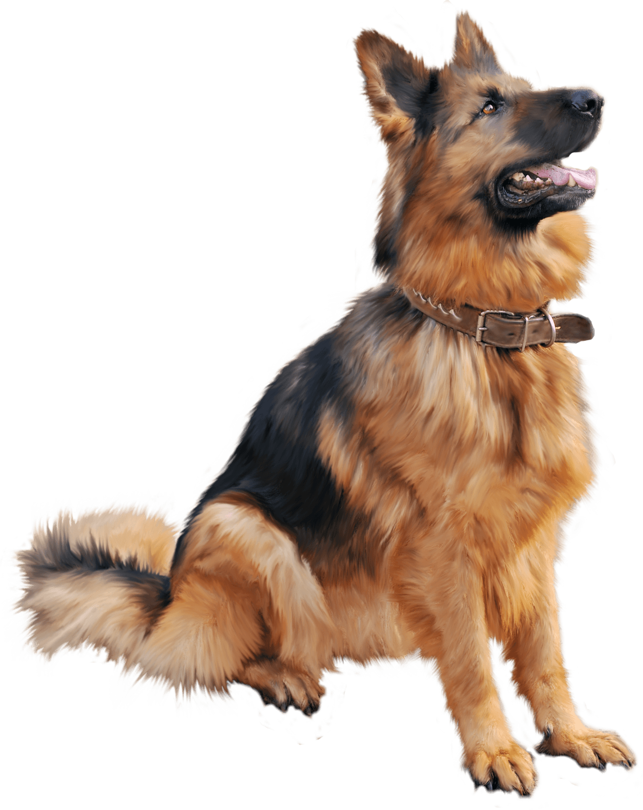 Large German Shepherd transparent PNG.