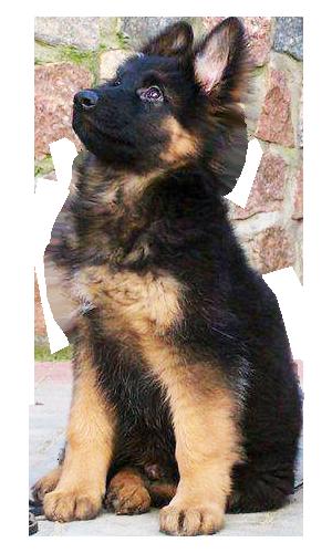 German Shepherd Puppy transparent background.