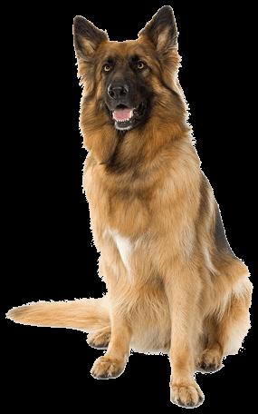 German Shepherd Dog transparent PNG.