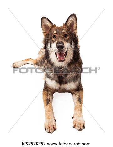 Pictures of Happy Wolf and German Shepherd Cross Dog Laying.