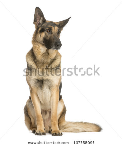 German Shepherd Dog Face Stock Images, Royalty.