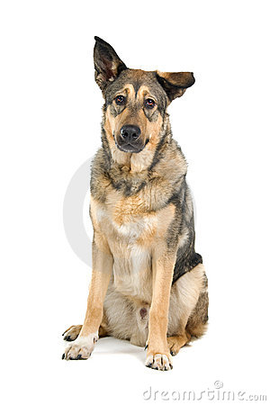 Mongrel German Shepherd Dog Stock Photos, Images, & Pictures.
