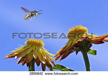 Stock Photo of german wasp (Vespula germanica) flying on a.
