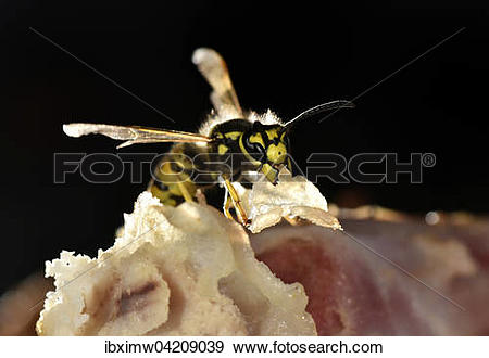 Stock Photograph of European wasp (Vespula germanica), sitting and.