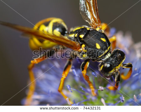 European Wasp Stock Photos, Royalty.