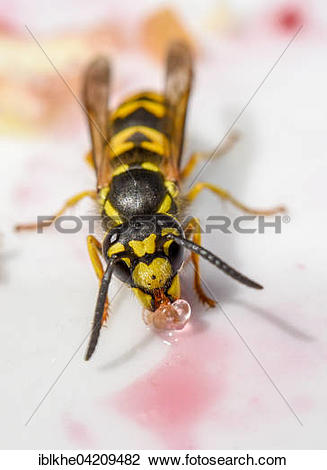 Stock Photo of German Wasp (Vespula germanica) drinking sugar.