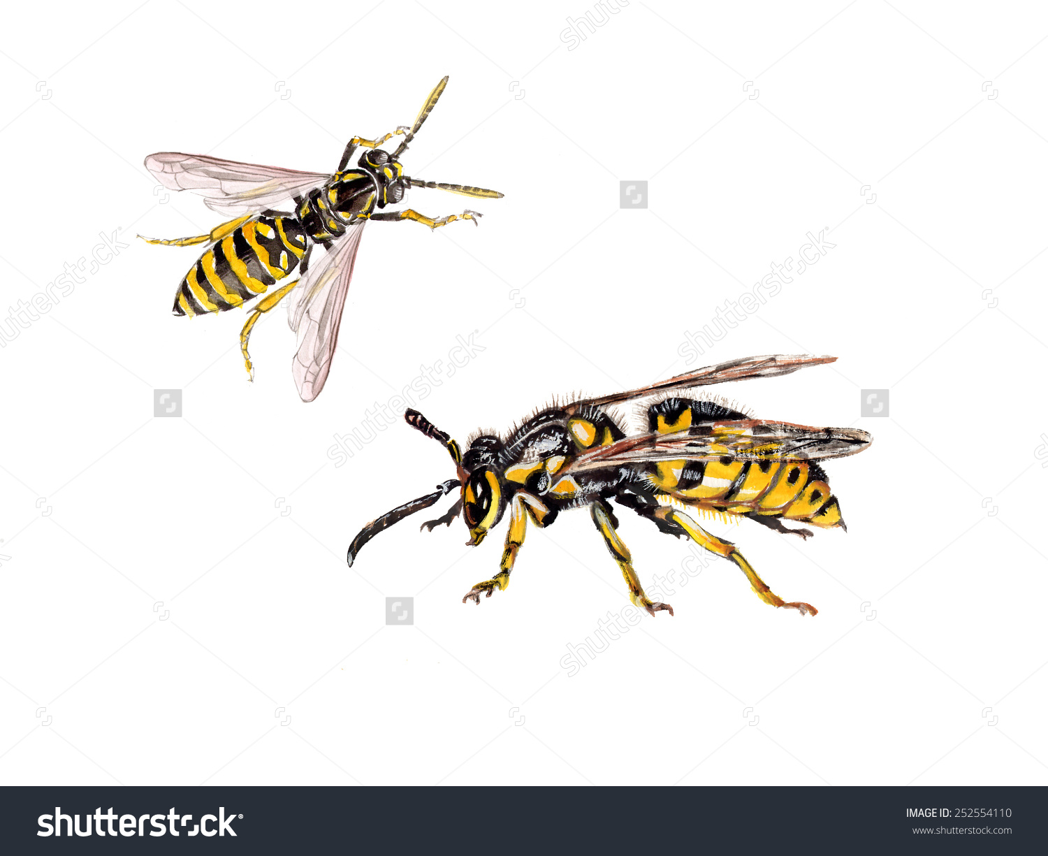Different Wasps, Vespula Germanica (European Wasp, German Wasp, Or.