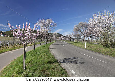 "Picture of ""Country road, blossoming almond trees, German Wine."