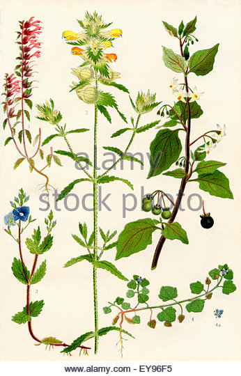 Ivy Leaved Speedwell Stock Photos & Ivy Leaved Speedwell Stock.