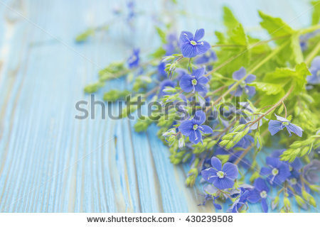Flower Speedwell Veronica Stock Photos, Images, & Pictures.