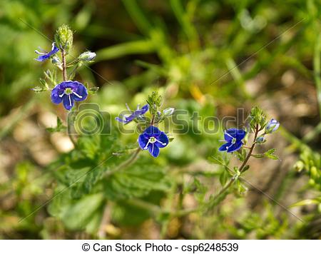 Stock Photographs of Germander Speedwell wild flower csp6248539.