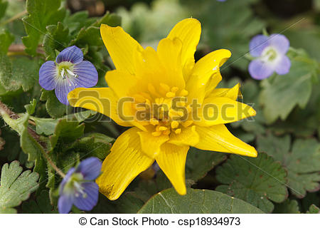 Picture of Yellow Caltha flower and small blue Germander Speedwell.