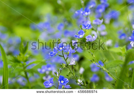 Germander Speedwell Stock Images, Royalty.
