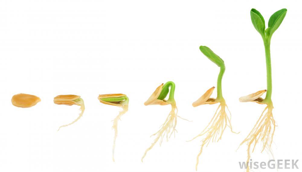Corn Plant Growing Clipart.