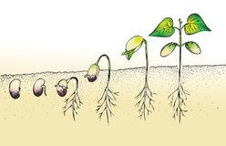 Bean Seed Germination Stock Illustration.