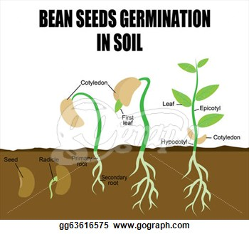 Seed germination clipart.