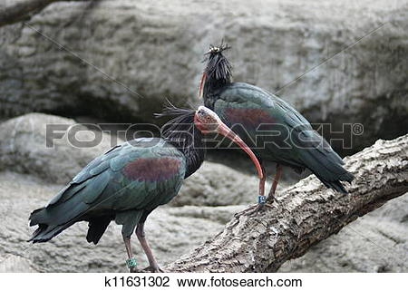 Stock Photo of Waldrapp Ibis.