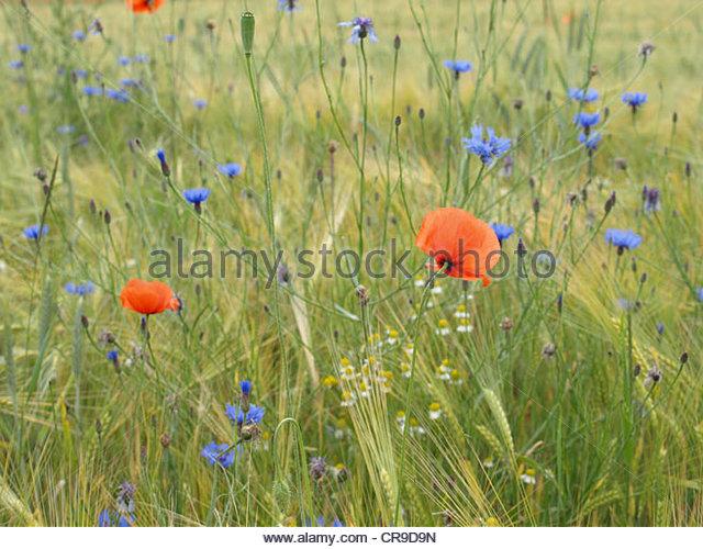 Orange Cornflower Stock Photos & Orange Cornflower Stock Images.