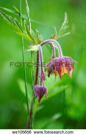 Stock Images of alpine water avens geum rivale Grindelwald bort.