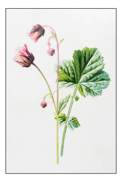 Water Avens Geum Rivale Clip Art, Vector Images & Illustrations.